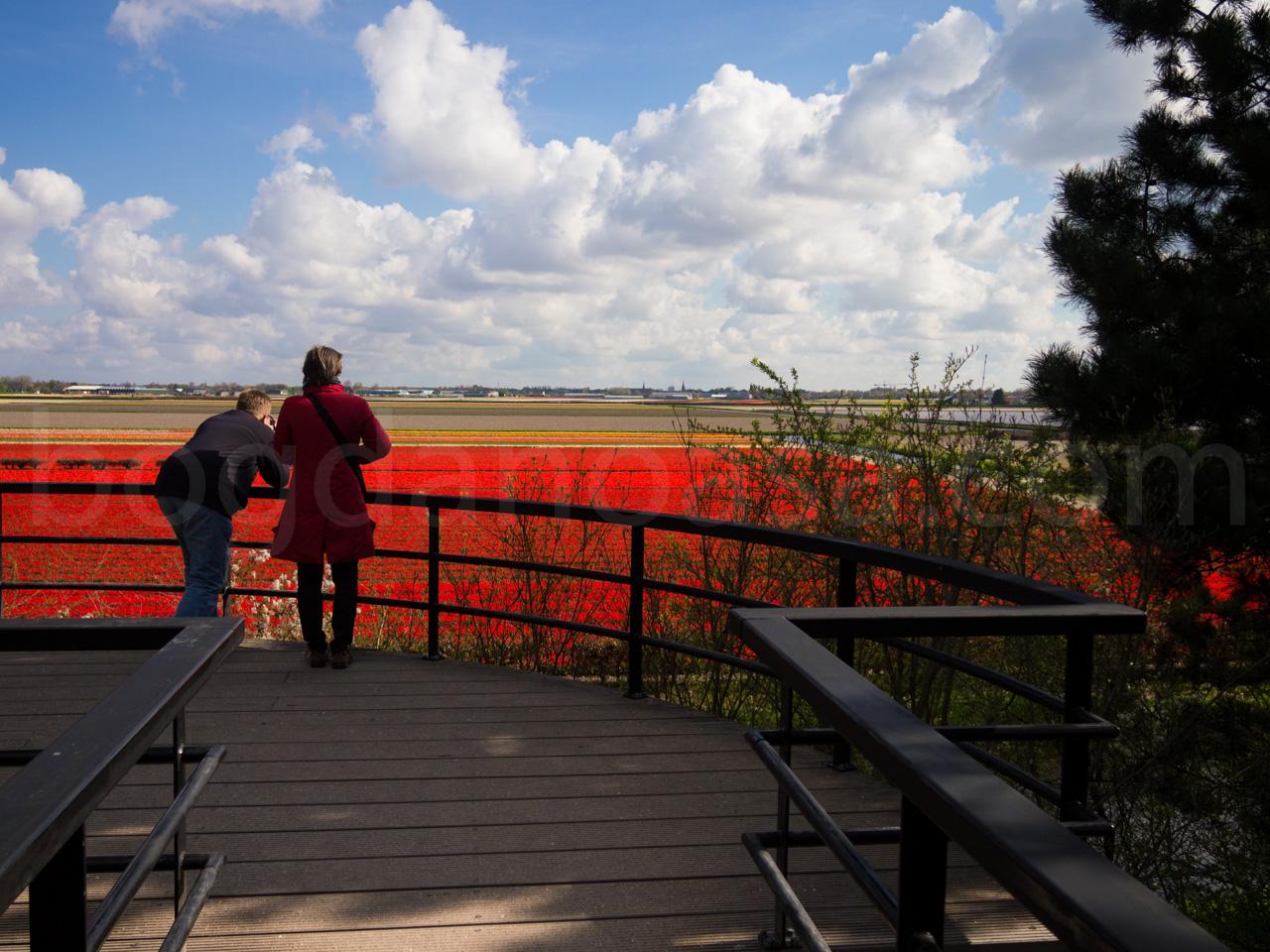 Netherland Tulip Fields from Keukenhow Viewspot